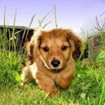 Podatek za psa w Irlandii